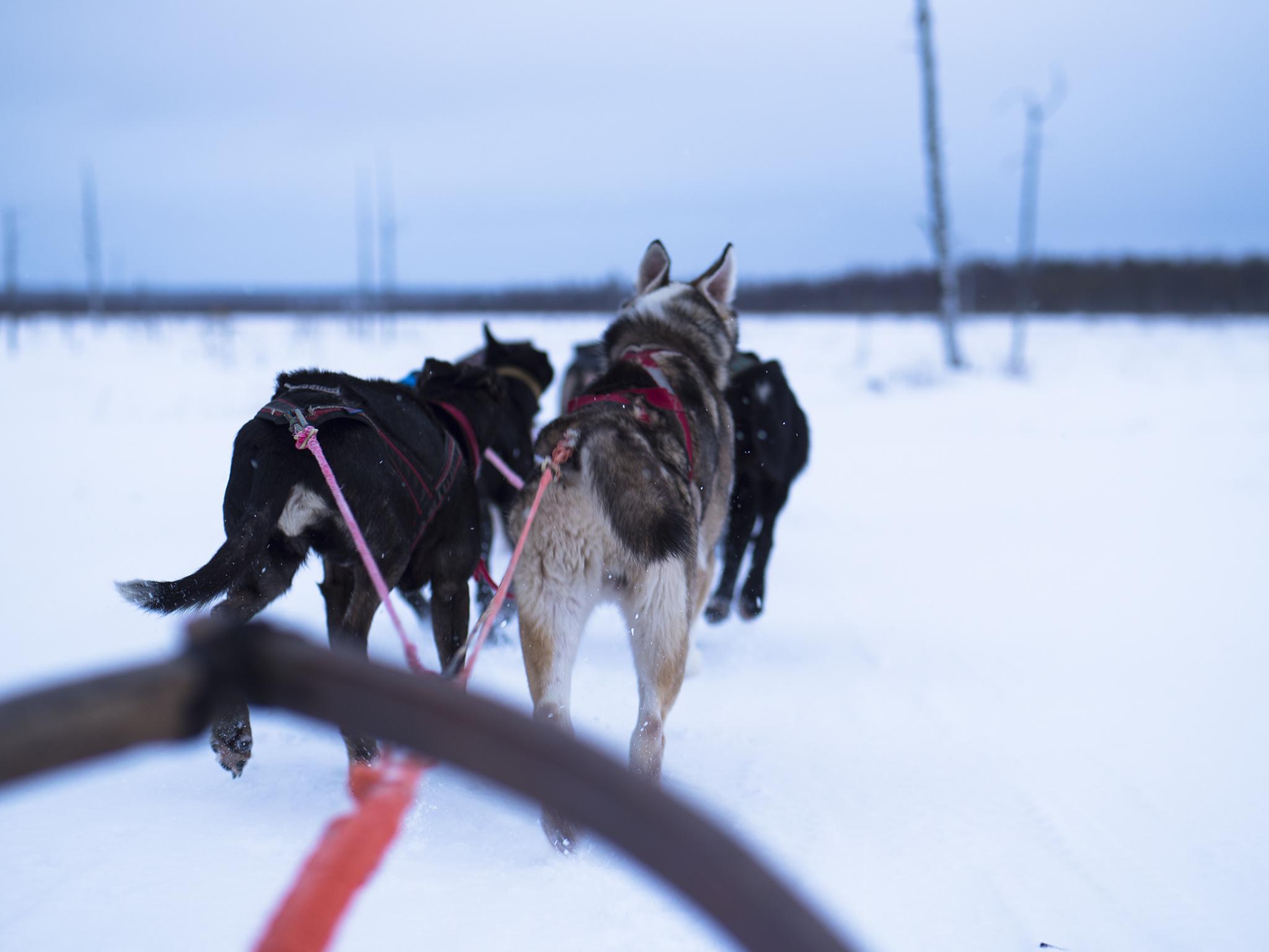 Северная Карелия. Сентиментальные хаски и где они обитают.
